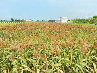 釀酒高粱新品種 台南契種800公頃