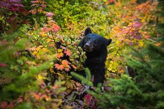沒有結果的愛情!黑熊煞到雕像狂獻吻 網笑:不是它的菜