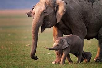 大象媽媽拉屎重砸寶寶腦袋 衝擊畫面竟藏滿滿母愛