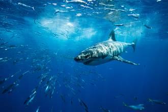 打破紀錄 激戰1小時拉起250公斤巨鯊 男釣到手腳發抖