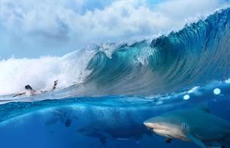 衝浪手不怕死 在鯊魚頭頂乘風破浪 驚險畫面曝