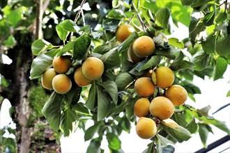 嘉義縣柿子紅了 今年產量增2成結實纍纍