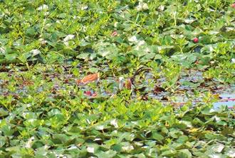 台南水雉繁殖巢位 今年大增324巢