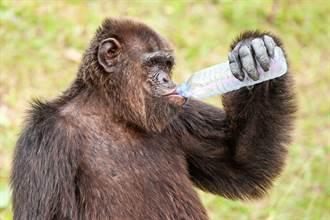 黑猩猩撿空瓶當「飛機杯」影片曝 專家看傻:全球首見