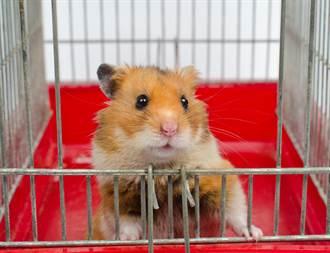 毛孩讀心術》黃金鼠愛打架 害同伴被送養 寵物溝通才知內幕