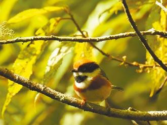 大雪山鳥類紀錄 推進至205種