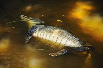 600公斤巨鱷陳屍村莊河中 翻肚慘死牙齒全掉光