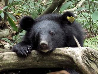 珍貴生態資料、黑熊Mulas返抵山林紀錄片已完成