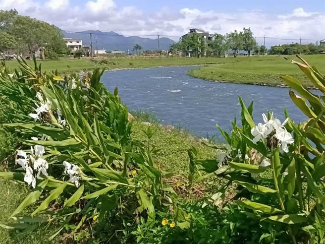安農溪上游兩岸邊栽種了大量的野薑花,<b><a href=