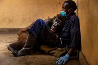 全球「最會自拍」大猩猩病逝 倒保育員懷中 嚥最後一口氣