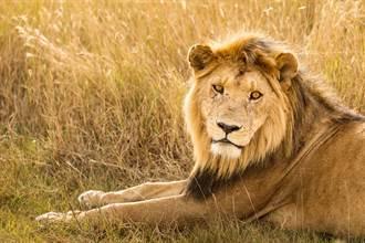 獅子進公廁引圍觀 佇足門口霸氣外露 網見亮點笑歪
