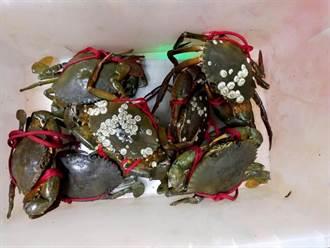 螃蟹長噁心白色瘤狀物 老饕反讚:人間美味