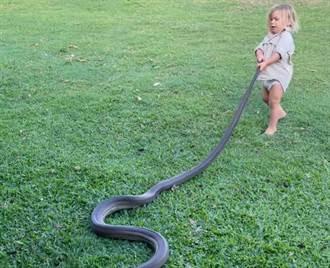 2歲童單挑巨蟒 抓蛇尾拖著走 父全程目擊喊加油