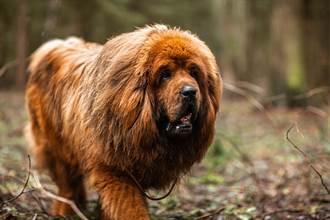 被誤會養獅子 幼犬2年暴長破70公斤 猛獸級體型超驚人