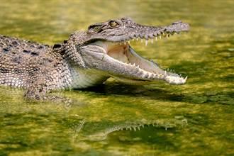 鱷魚爽做日光浴 下秒突遭頂尖掠食者偷襲 全場嚇傻