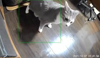貓咪遇地震急找鏡頭報平安 肉嘟嘟身材晃成布丁好療癒