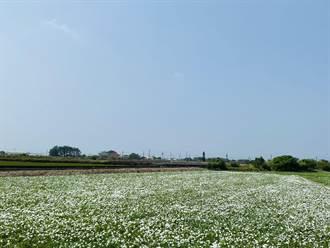 嘉義布袋、朴子季節限定 空心菜花海「十月雪」吸睛