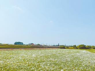 10月雪 布袋、朴子空心菜花海盛開