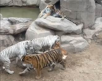 5隻老虎與狗共處一室 向金毛撒嬌被嫌棄 特殊關係引熱議