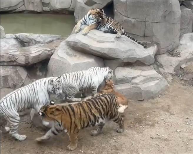 有遊客至動物園發現,一隻黃金獵犬被飼養於老虎展區,與5隻老虎一起生活,讓不少人覺得新奇。(圖翻攝自/微博/極目新聞)