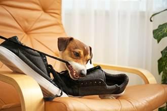 愛犬咬爛鞋子主人怒質問 牠急逃跑表情逐漸母湯