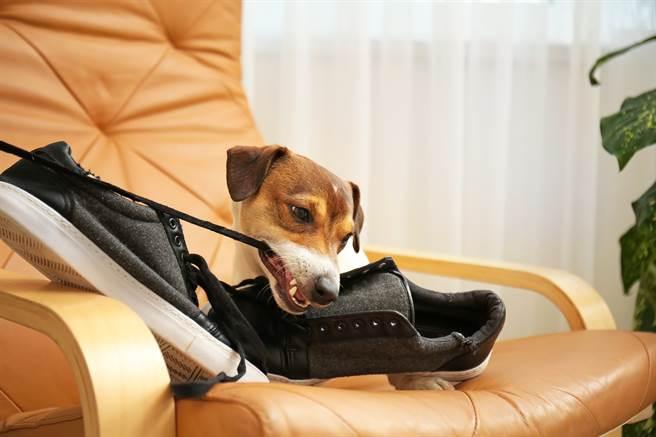 美國一名飼主發現球鞋被咬爛,於是找愛犬質問,未料對方一看到鞋子就立刻逃離現場。(示意圖/達志影像)