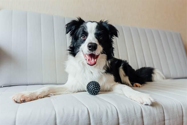 邊境牧羊犬一發現有任何風吹草動,就會吠叫想保護家園,卻被主人認為太調皮,經過寵物溝通後,愛犬才說出自己的委屈。(示意圖/達志影像)