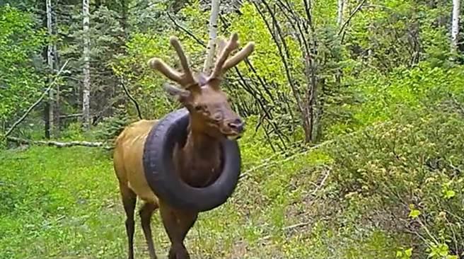 森林出現一隻輪胎套脖子的麋鹿,野生動物管理局花2年時間終於抓住牠,並順利幫麋鹿脫困。(圖翻攝自/推特/CPW NE Region)