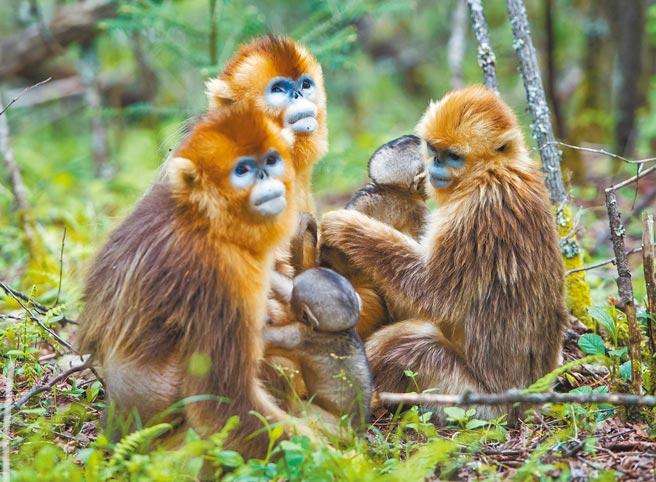 大陸國家主席習近平宣布,將成立大貓熊、東北虎豹等重點保護動物的國家公園。圖為大陸重點保護動物金絲猴,在野外研究基地山林中活動。(新華社)