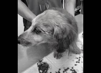 臘腸狗被咬到耳撕裂爆血 比特犬飼主:道歉了還不行?