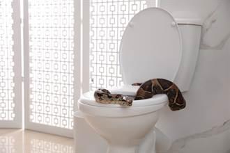 上廁所驚見超肥巨蟒卡馬桶 女屋主嚇到穿睡衣逃家
