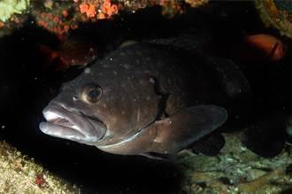 石斑魚體外受精瞬間宛如爆炸 攝影師待水下3000小時才拍到