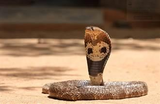 印度男以眼鏡蛇謀殺妻子 遭判2個無期徒刑