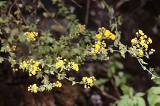 原生種「阿里山油菊」育苗有成 金黃花海有望