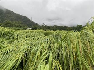 台東4鄉鎮圓規颱風稻米災損現金救助 16日起開放申請