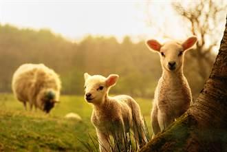 小羊後腦杓長出詭異「一根」 牧民驚見第5隻腳看傻眼