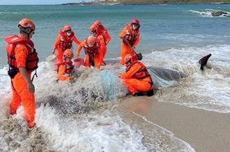 柏氏中喙鯨擱淺澎湖沙灘 全身慘遭礁岩割傷 保育人員搶救仍斷氣
