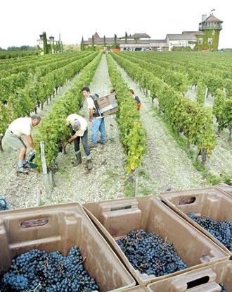 義大利用機器採葡萄