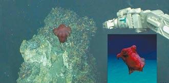 超萌浮游海參 台灣海域首度發現