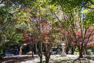 福壽山楓樹漸轉色 秋天景緻映眼簾