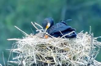 台灣紀錄第一隻!冬候鳥鸕鶿寶寶出生 鳥友超興奮