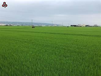 獨》稻作直接給付與災害現金救助明年起雙退場 兩者皆納水稻險