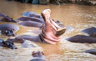 4古柯鹼河馬遭棄養 橫行南美狂繁衍暴增80頭
