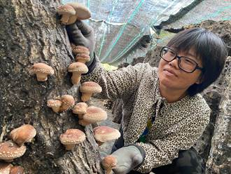 颱風降雨致氣候潮濕低溫 東河鄉椴木香菇卻順利生長
