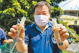潮州賽神蝦延期 養殖戶留蝦力挺