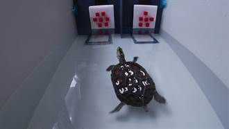 烏龜居然會算數學!牠分辨數字差異 刷新全球爬行動物紀錄