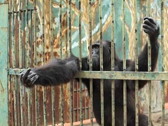 大猩猩被囚禁水泥牢房38年 向遊客乞討食物惹鼻酸