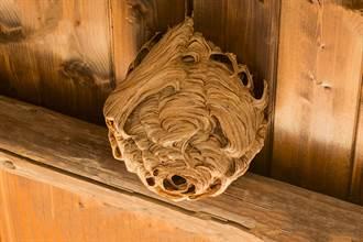 91公分巨大蜂巢驚藏閣樓 除蟲專家都嚇歪:24年沒見過