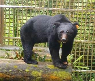 東卯山黑熊復原良好 重返山林密集整備作業中