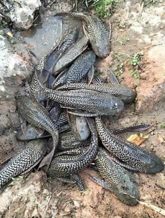 琵琶鼠魚肆虐 桃園選定13口埤塘執行清除作業
